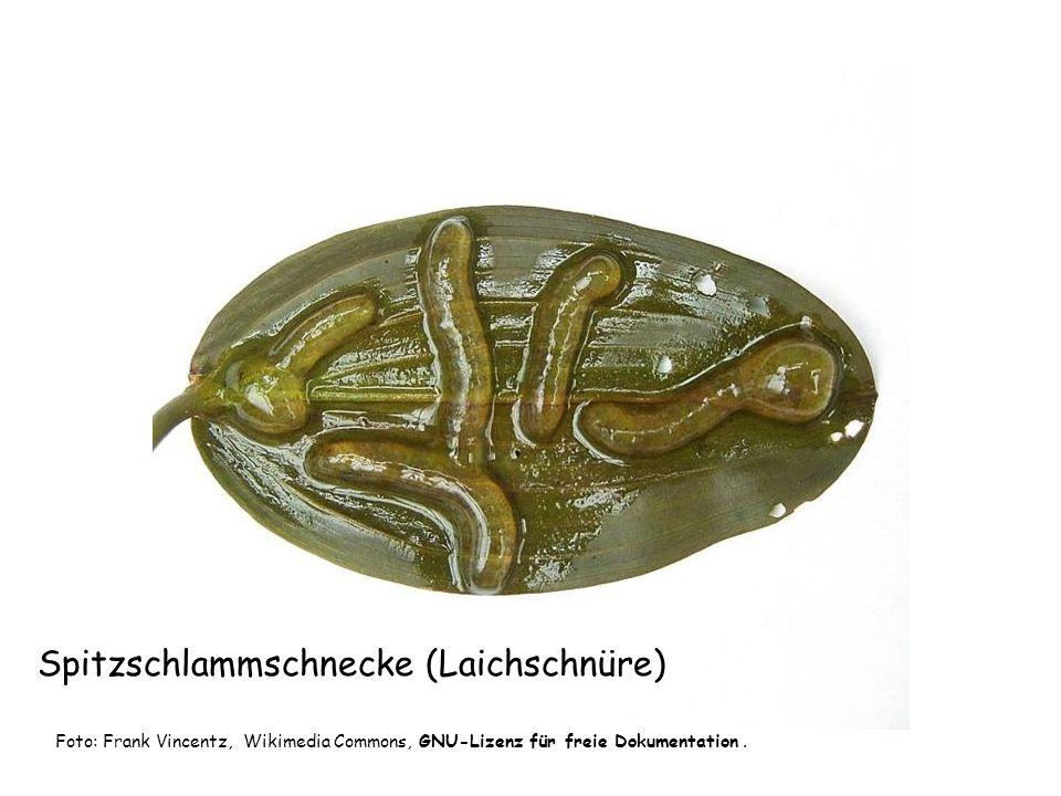Spitzschlammschnecke (Schlüpflinge) Foto: Robikan, Wikimedia Commons, GNU-Lizenz für freie Dokumentation.