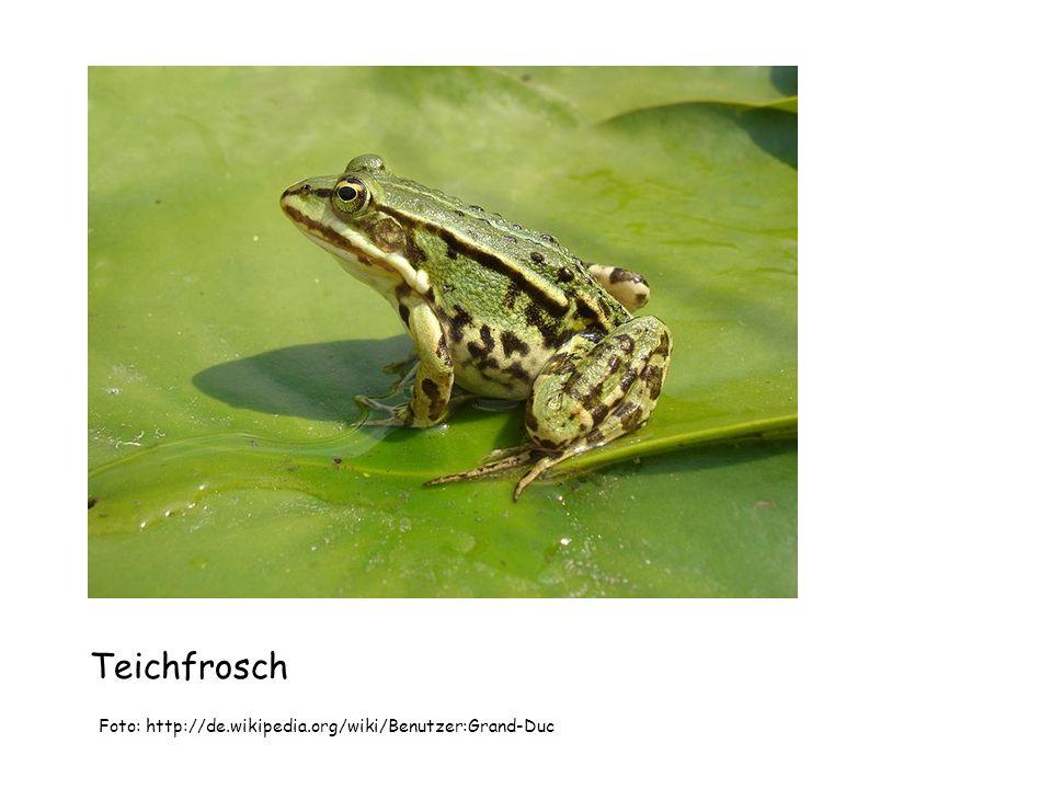 Teichfrosch Foto: Sebaho, Wikimedia Commons, GNU-Lizenz für freie Dokumentation