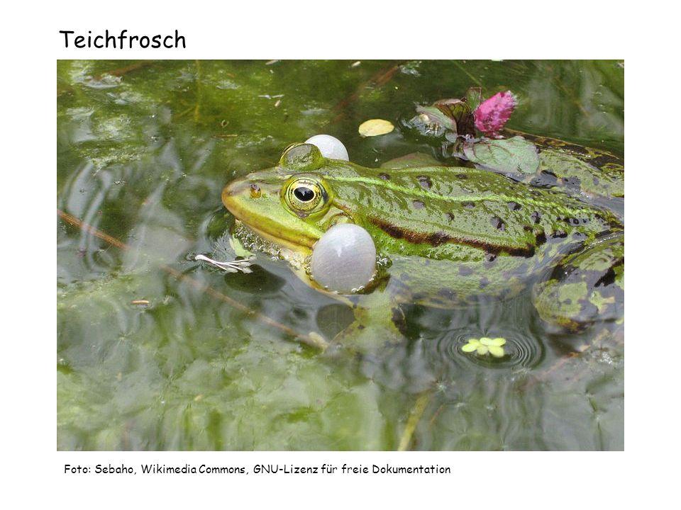 Grasfrosch Foto: Michael Bartz, Wikimedia Commons, Creative Commons-Lizenz Namensnennung-Weitergabe unter gleichen Bedingungen 2.5 US-amerikanisch (nicht portiert).