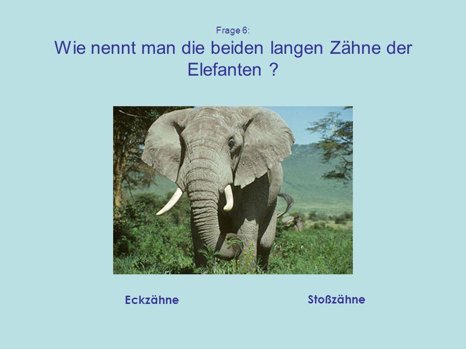 Frage 6: Wie nennt man die beiden langen Zähne der Elefanten ? Eckzähne Stoßzähne