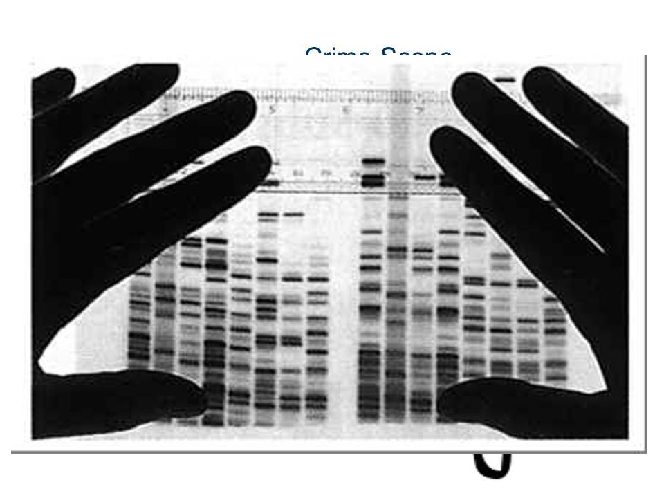Hauptseminar Biophysik der Systeme Crime Scene DNA ?
