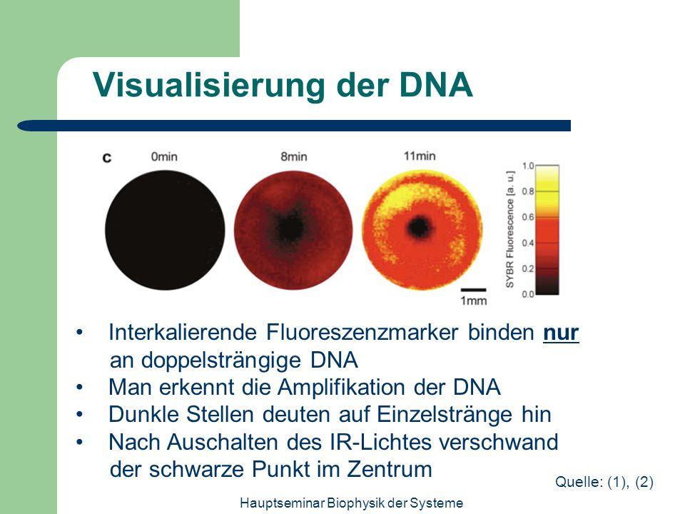 Hauptseminar Biophysik der Systeme Visualisierung der DNA Interkalierende Fluoreszenzmarker binden nur an doppelsträngige DNA Man erkennt die Amplifik