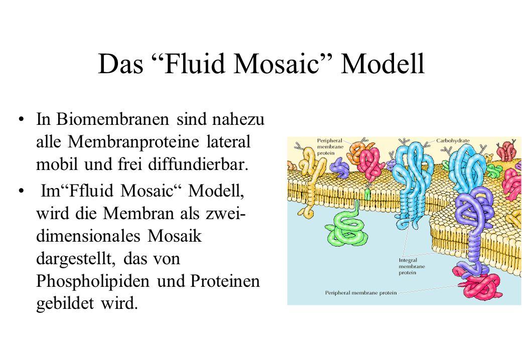 Das Fluid Mosaic Modell In Biomembranen sind nahezu alle Membranproteine lateral mobil und frei diffundierbar. ImFfluid Mosaic Modell, wird die Membra