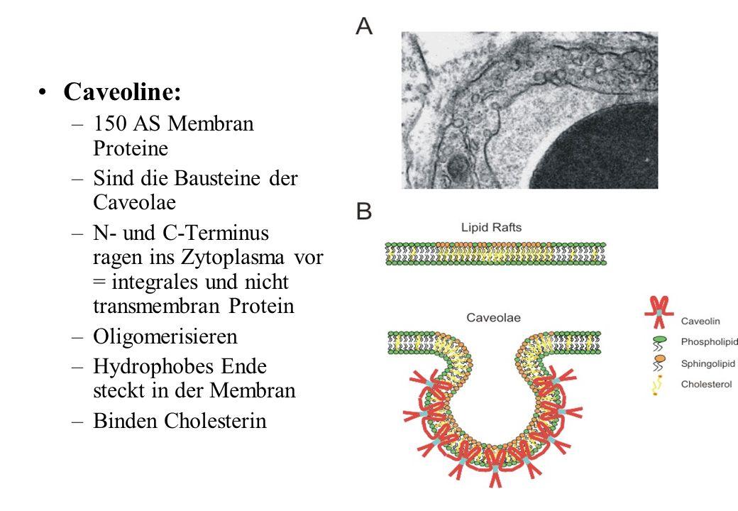 Caveoline: –150 AS Membran Proteine –Sind die Bausteine der Caveolae –N- und C-Terminus ragen ins Zytoplasma vor = integrales und nicht transmembran P