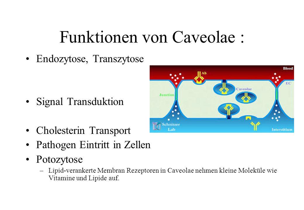 Funktionen von Caveolae : Endozytose, Transzytose Signal Transduktion Cholesterin Transport Pathogen Eintritt in Zellen Potozytose –Lipid-verankerte M