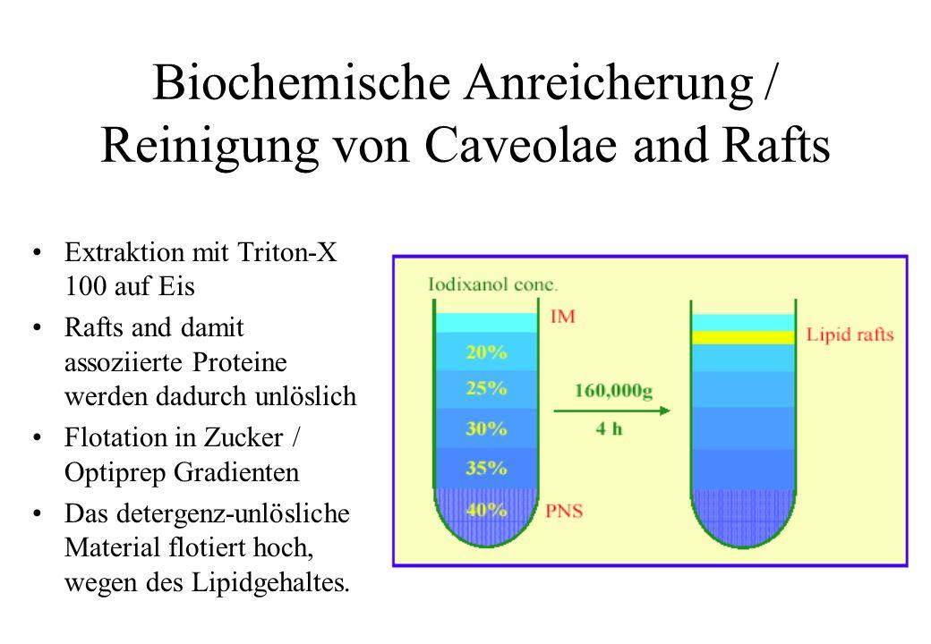 Biochemische Anreicherung / Reinigung von Caveolae and Rafts Extraktion mit Triton-X 100 auf Eis Rafts and damit assoziierte Proteine werden dadurch u