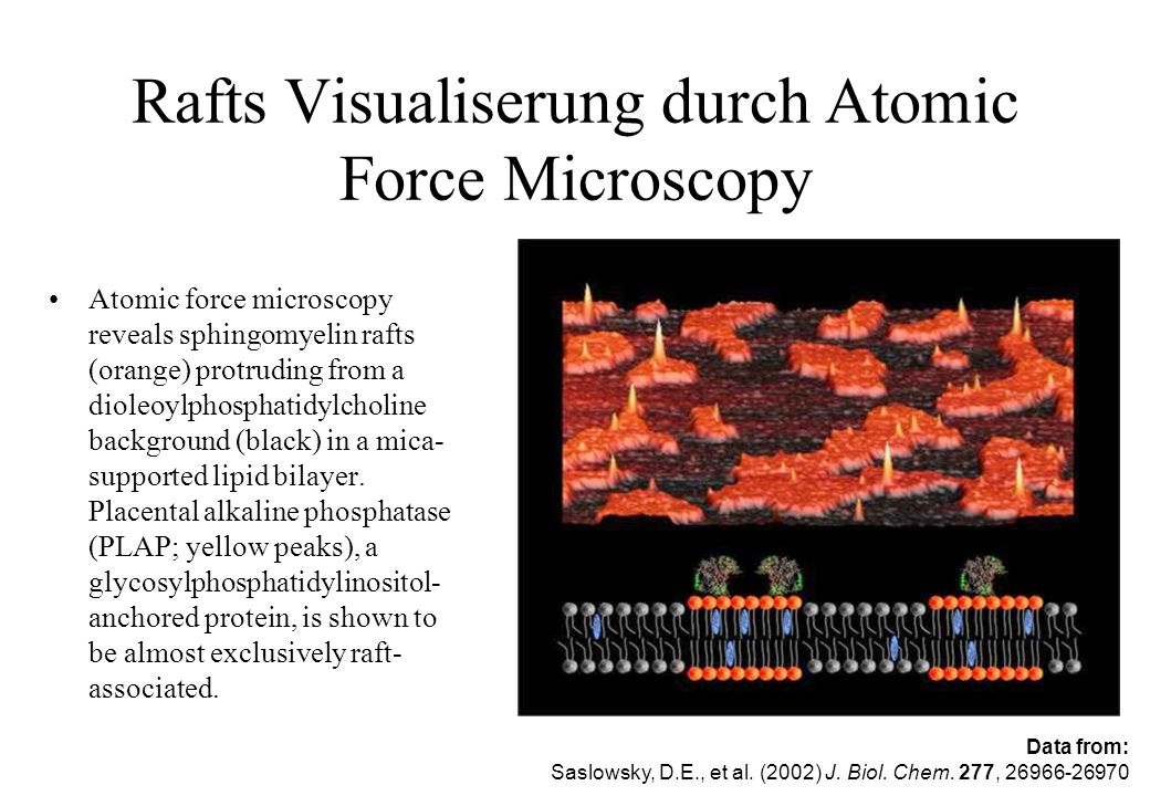 Rafts Visualiserung durch Atomic Force Microscopy Atomic force microscopy reveals sphingomyelin rafts (orange) protruding from a dioleoylphosphatidylc