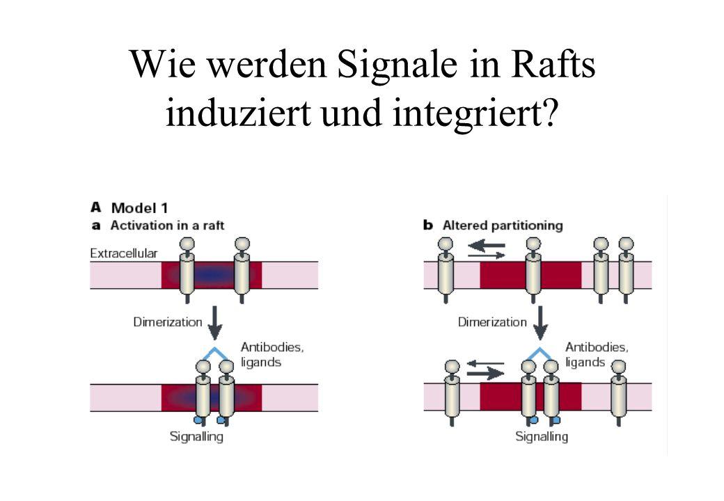 Wie werden Signale in Rafts induziert und integriert?