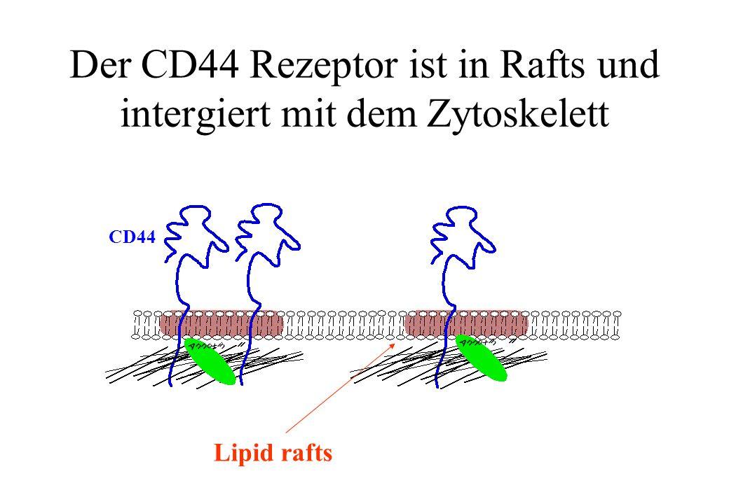 CD44 Lipid rafts Der CD44 Rezeptor ist in Rafts und intergiert mit dem Zytoskelett