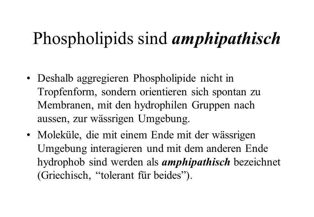 Phospholipids sind amphipathisch Deshalb aggregieren Phospholipide nicht in Tropfenform, sondern orientieren sich spontan zu Membranen, mit den hydrop
