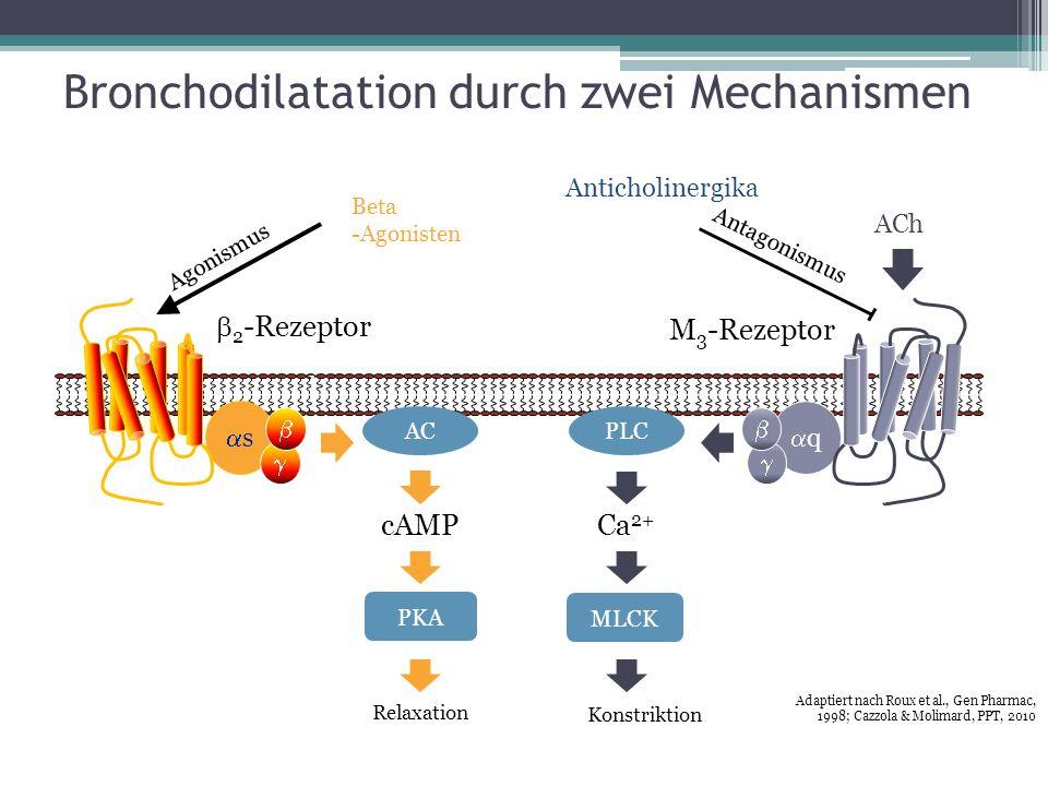 h q PLC MLCK Ca 2+ Konstriktion M 3 -Rezeptor Antagonismus Anticholinergika ACh s AC cAMP PKA 2 -Rezeptor Agonismus Beta -Agonisten Relaxation Adaptie