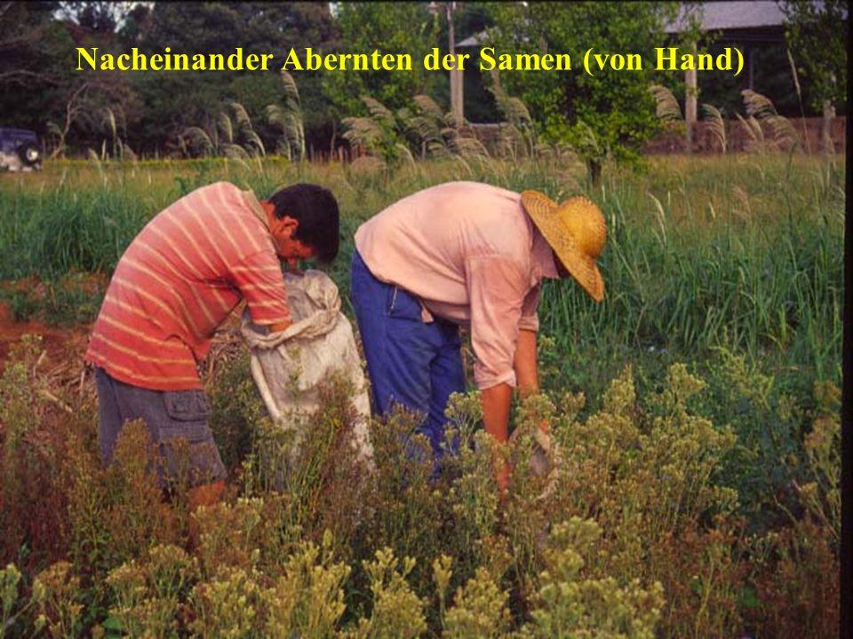 Nacheinander Abernten der Samen (von Hand)
