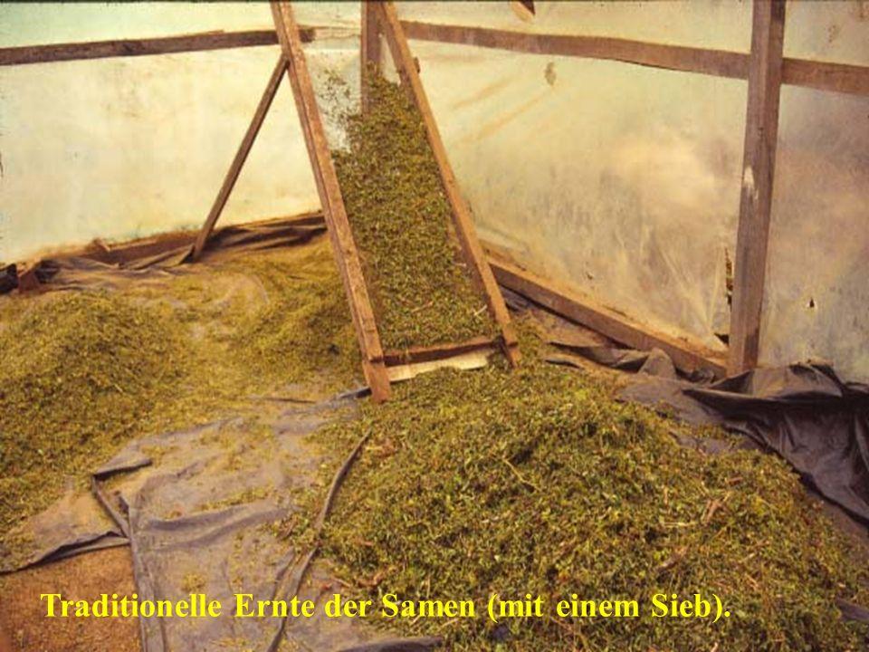 Traditionelle Ernte der Samen (mit einem Sieb).