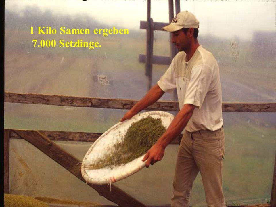 1 Kilo Samen ergeben 7.000 Setzlinge.