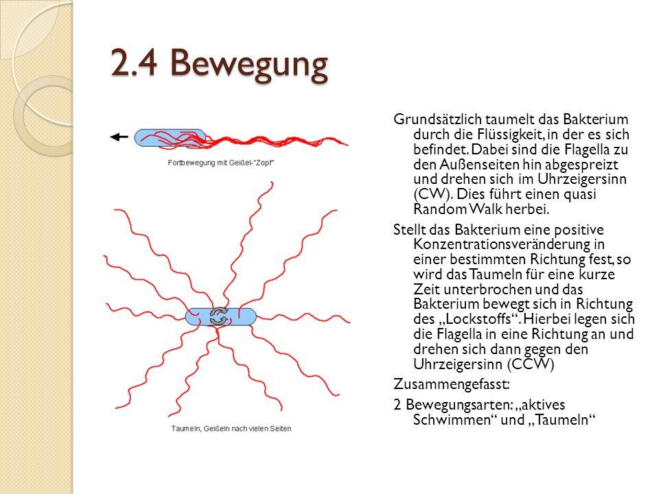 2.4 Bewegung Grundsätzlich taumelt das Bakterium durch die Flüssigkeit, in der es sich befindet.