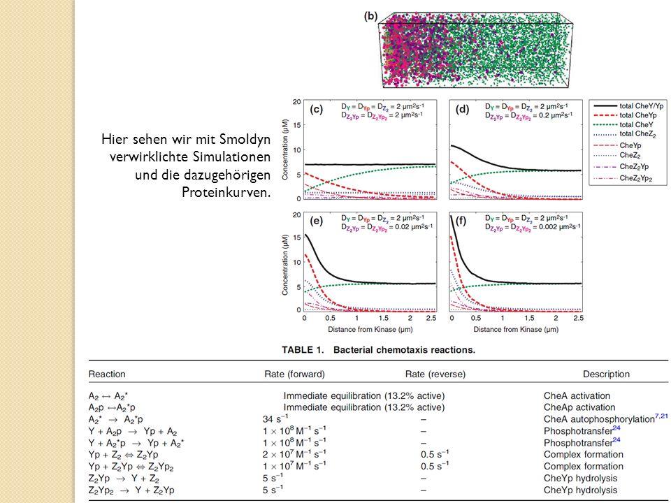 Hier sehen wir mit Smoldyn verwirklichte Simulationen und die dazugehörigen Proteinkurven.