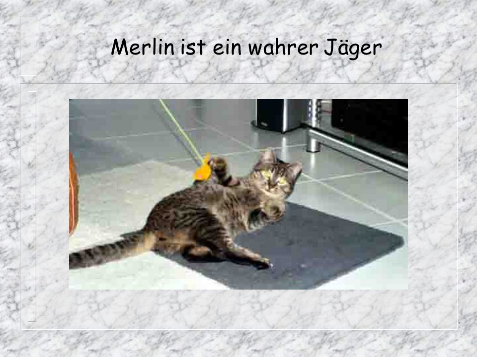 Merlin ist ein wahrer Jäger