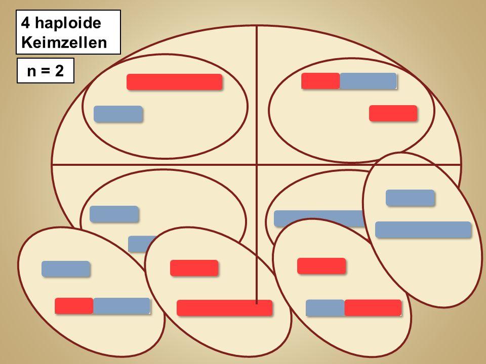 2 haploide Zellen n = 2 4 haploide Keimzellen