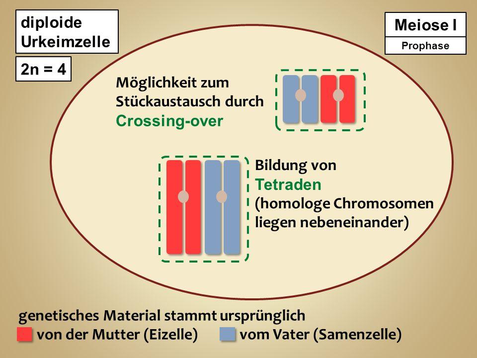 diploide Urkeimzelle 2n = 4 genetisches Material stammt ursprünglich von der Mutter (Eizelle) vom Vater (Samenzelle) Meiose I Prophase Möglichkeit zum Stückaustausch durch Crossing-over Bruch der Chromatiden und Austausch homologer Abschnitte Bildung von Tetraden (homologe Chromosomen liegen nebeneinander)