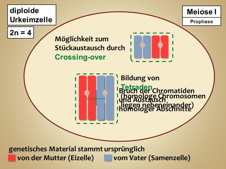 diploide Urkeimzelle 2n = 4 genetisches Material stammt ursprünglich von der Mutter (Eizelle) vom Vater (Samenzelle) Meiose I Prophase Möglichkeit zum Stückaustausch durch Crossing-over Bruch der Chromatiden und Austausch homologer Abschnitte Metaphase