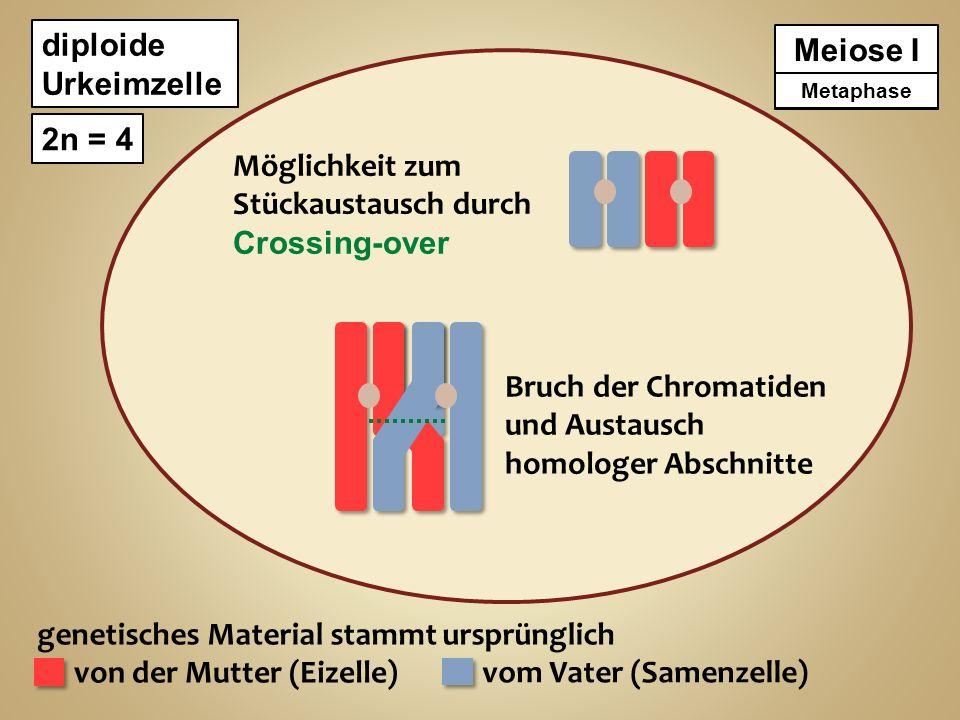 diploide Urkeimzelle 2n = 4 genetisches Material stammt ursprünglich von der Mutter (Eizelle) vom Vater (Samenzelle) Meiose I Metaphase Äquatorialebene Anaphase