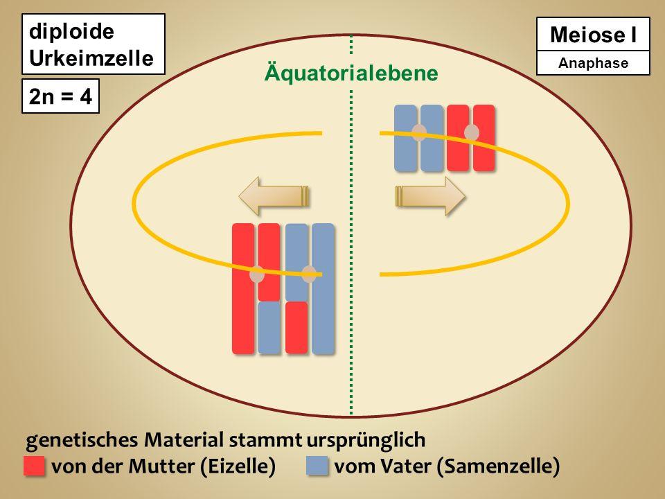 diploide Urkeimzelle 2n = 4 genetisches Material stammt ursprünglich von der Mutter (Eizelle) vom Vater (Samenzelle) Meiose I 2 haploide Zellen n = 2 Meiose II AnaphaseTelophase Zytokinese