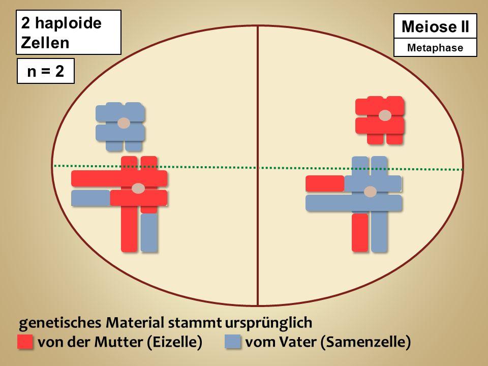 genetisches Material stammt ursprünglich von der Mutter (Eizelle) vom Vater (Samenzelle) Meiose II 2 haploide Zellen n = 2 ProphaseMetaphase