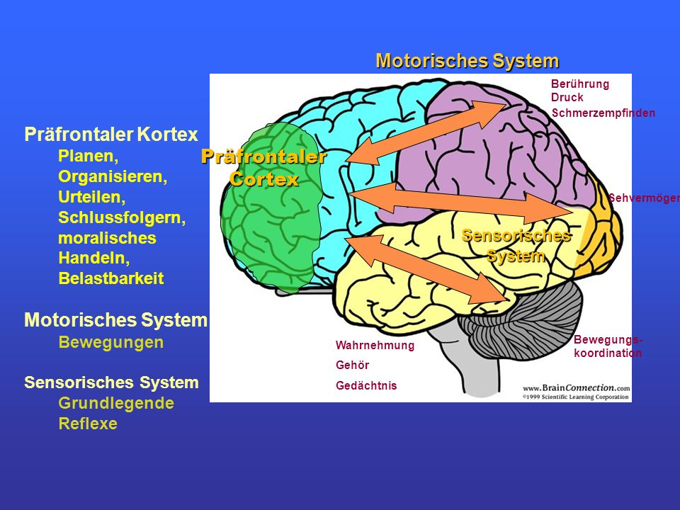 Präfrontaler Cortex Präfrontaler Kortex Planen, Organisieren, Urteilen, Schlussfolgern, moralisches Handeln, Belastbarkeit Motorisches System Bewegung