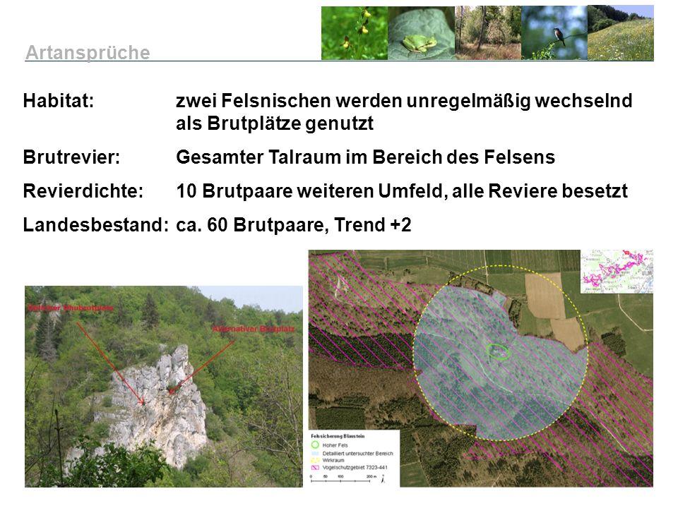 Habitat: zwei Felsnischen werden unregelmäßig wechselnd als Brutplätze genutzt Brutrevier:Gesamter Talraum im Bereich des Felsens Revierdichte:10 Brut