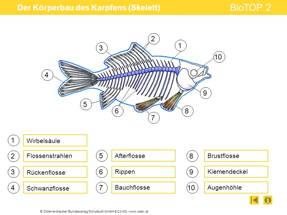 © Österreichischer Bundesverlag Schulbuch GmbH & Co KG | www.oebv.at BioTOP 2 Der Körperbau des Karpfens (Skelett) 1 3 4 5 6 7 Rückenflosse Rippen Aft