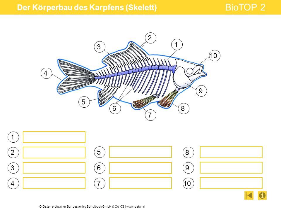 © Österreichischer Bundesverlag Schulbuch GmbH & Co KG   www.oebv.at BioTOP 2 Der Körperbau des Karpfens (Skelett) 1 3 4 5 6 7 2 8 9 10 1 2 3 4 5 6 7