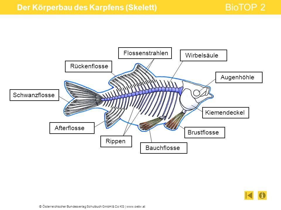 © Österreichischer Bundesverlag Schulbuch GmbH & Co KG | www.oebv.at BioTOP 2 Der Körperbau des Karpfens (Skelett) Wirbelsäule Augenhöhle Kiemendeckel