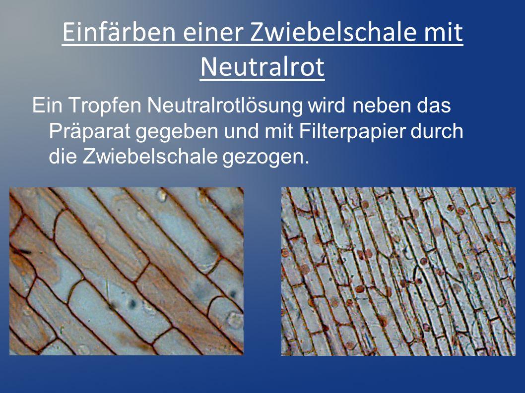 Einfärben einer Zwiebelschale mit Neutralrot Ein Tropfen Neutralrotlösung wird neben das Präparat gegeben und mit Filterpapier durch die Zwiebelschale