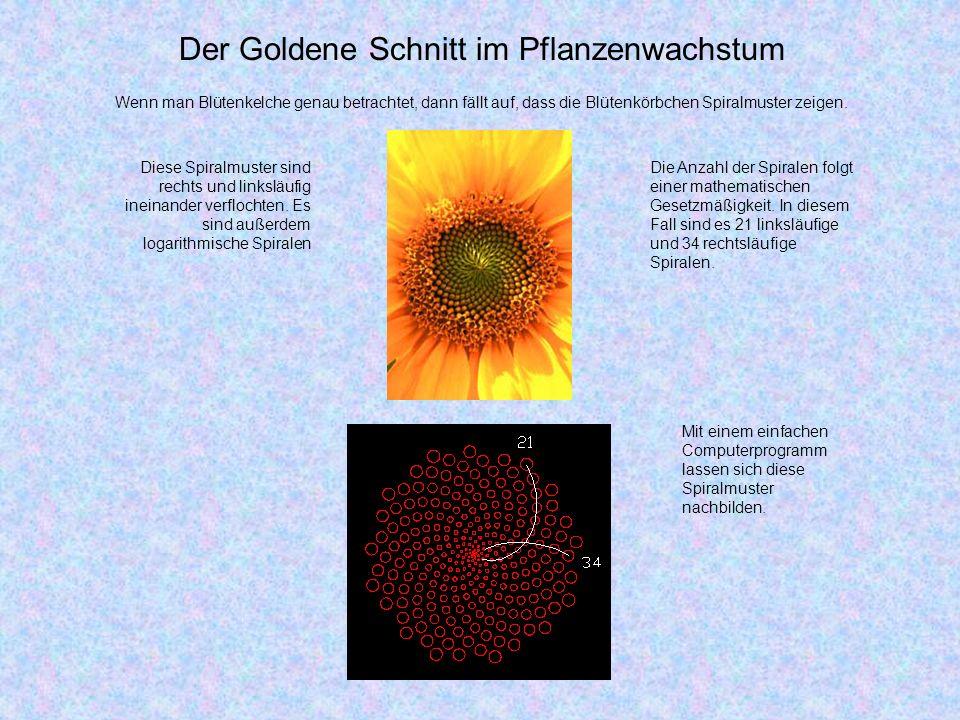 Der Goldene Schnitt im Pflanzenwachstum Wenn man Blütenkelche genau betrachtet, dann fällt auf, dass die Blütenkörbchen Spiralmuster zeigen.