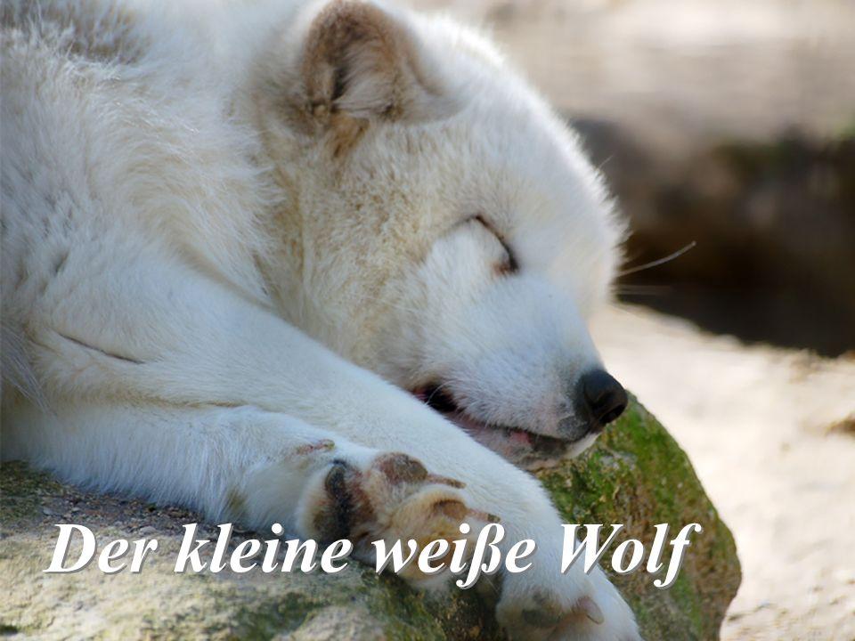 Der kleine weiße Wolf