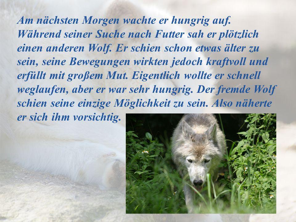 Am nächsten Morgen wachte er hungrig auf. Während seiner Suche nach Futter sah er plötzlich einen anderen Wolf. Er schien schon etwas älter zu sein, s