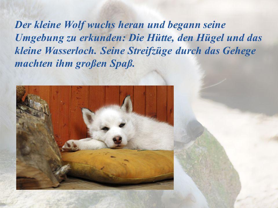Der kleine Wolf wuchs heran und begann seine Umgebung zu erkunden: Die Hütte, den Hügel und das kleine Wasserloch. Seine Streifzüge durch das Gehege m