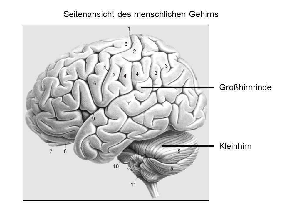 Seitenansicht des menschlichen Gehirns Großhirnrinde Kleinhirn