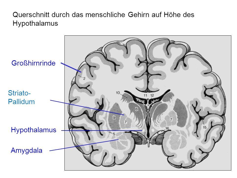 Hypothalamus Querschnitt durch das menschliche Gehirn auf Höhe des Hypothalamus Großhirnrinde Amygdala Striato- Pallidum