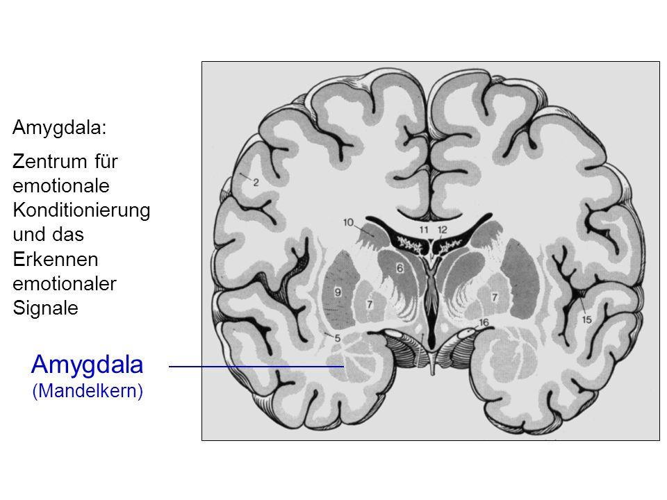 Amygdala (Mandelkern) Amygdala: Zentrum für emotionale Konditionierung und das Erkennen emotionaler Signale