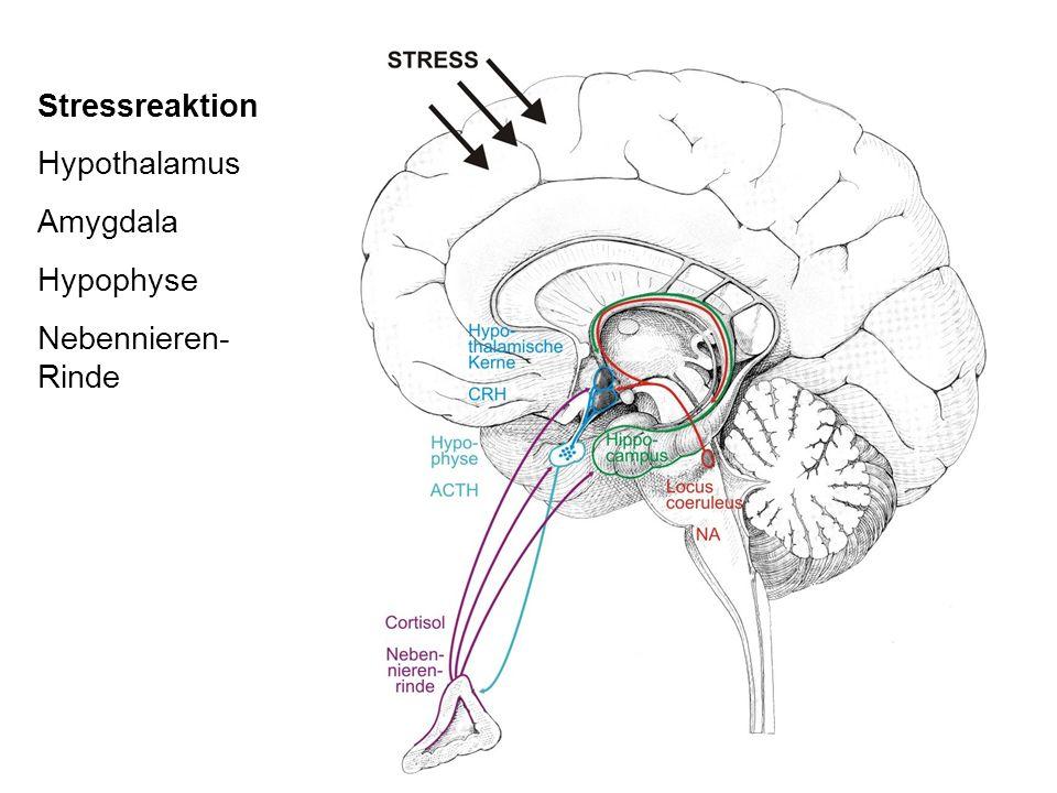 Stressreaktion Hypothalamus Amygdala Hypophyse Nebennieren- Rinde