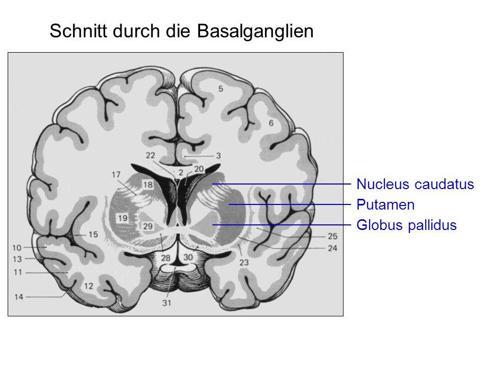Nucleus caudatus Putamen Globus pallidus Schnitt durch die Basalganglien