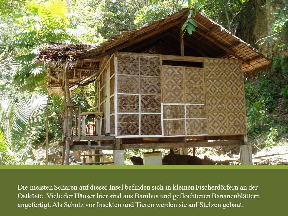 Die meisten Scharen auf dieser Insel befinden sich in kleinen Fischerdörfern an der Ostküste. Viele der Häuser hier sind aus Bambus und geflochtenen B
