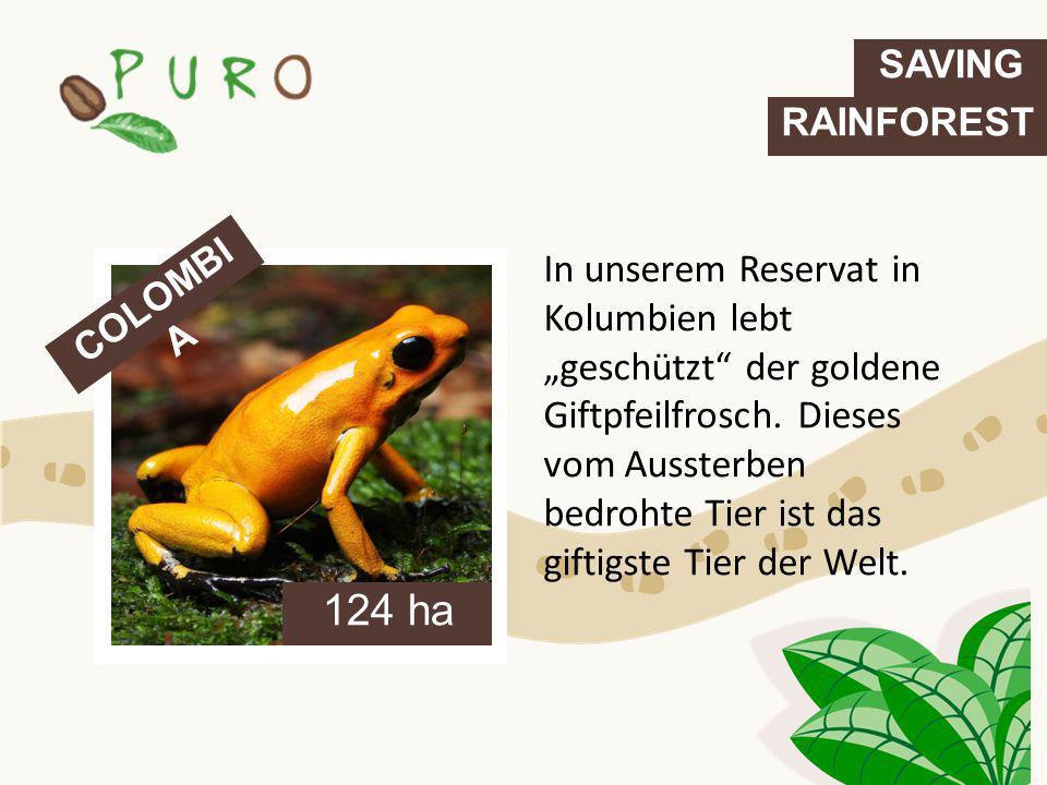 In unserem Reservat in Kolumbien lebt geschützt der goldene Giftpfeilfrosch. Dieses vom Aussterben bedrohte Tier ist das giftigste Tier der Welt. COLO