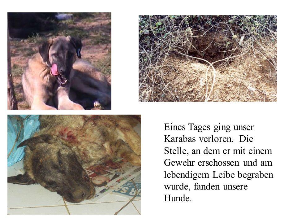 Eines Tages ging unser Karabas verloren. Die Stelle, an dem er mit einem Gewehr erschossen und am lebendigem Leibe begraben wurde, fanden unsere Hunde