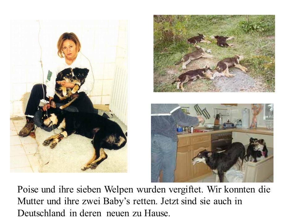 Poise und ihre sieben Welpen wurden vergiftet. Wir konnten die Mutter und ihre zwei Babys retten. Jetzt sind sie auch in Deutschland in deren neuen zu