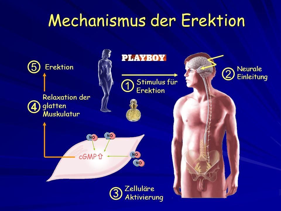 Mechanismus der Erektion Zelluläre Aktivierung cGMP 3 Neurale Einleitung 2 Relaxation der glatten Muskulatur 4 5 Erektion Stimulus für Erektion 1