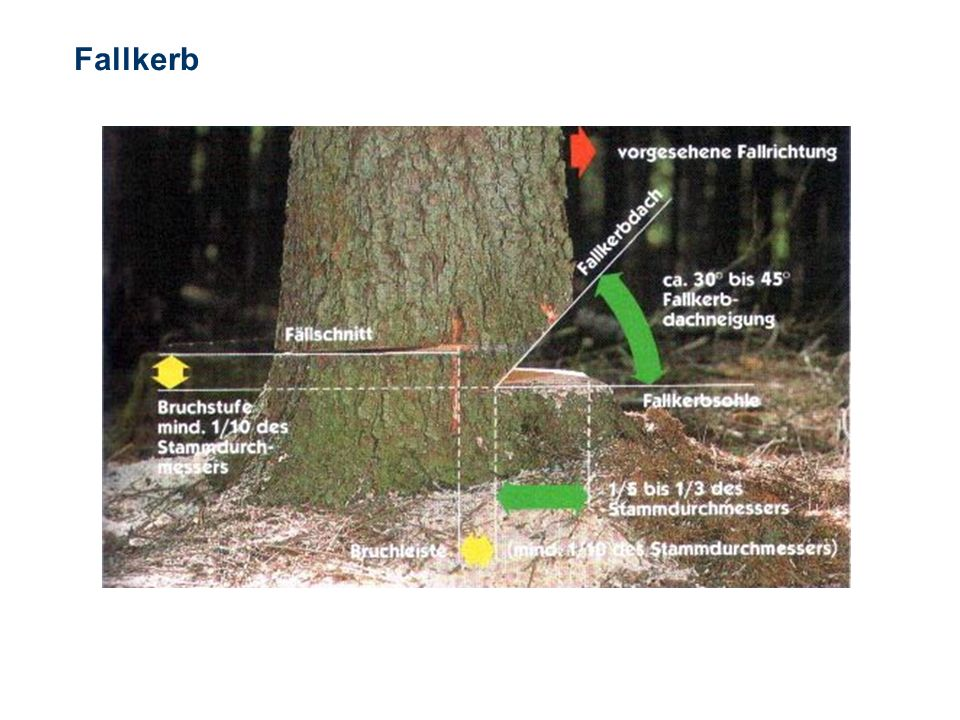 OBM Stefan Schiavulli www.ff-blofeld.de Ausbildung Feuerwehr Blofeld Folie 30 Fallkerb Der Fallkerb bestimmt die Fällrichtung des Stammes. Er wird im