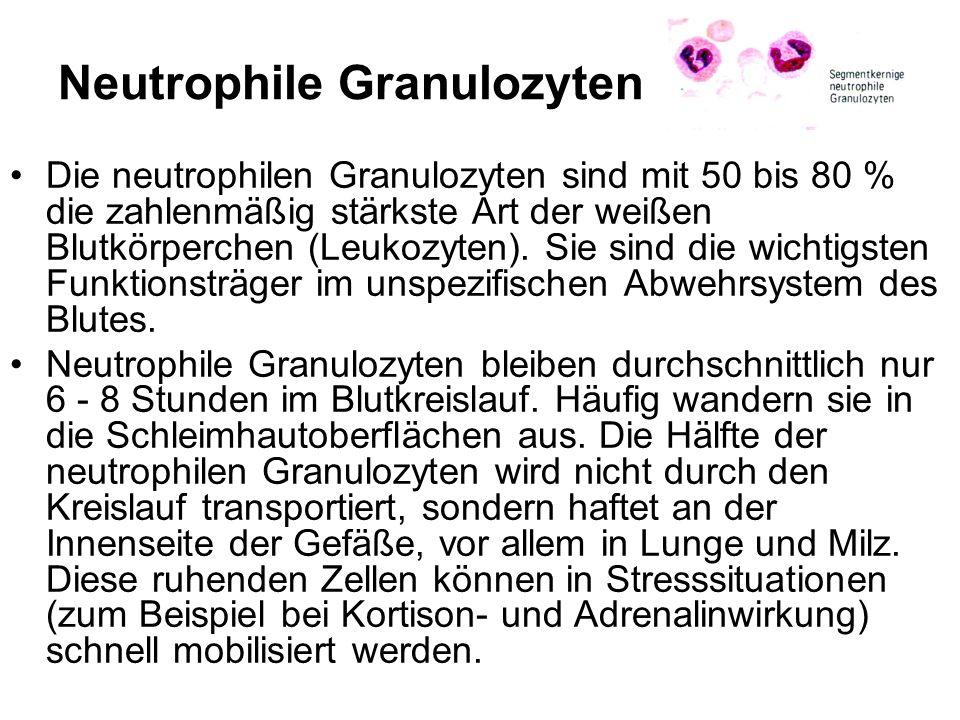 Neutrophile Granulozyten Die neutrophilen Granulozyten sind mit 50 bis 80 % die zahlenmäßig stärkste Art der weißen Blutkörperchen (Leukozyten). Sie s