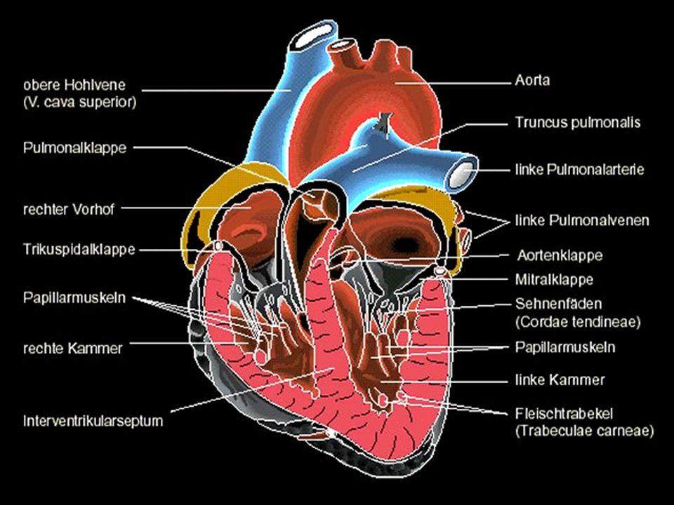 Das Herz schlägt in einem Viertaktrhythmus: Die zwei aktiven Phasen bilden die Systole, die zwei passiven Phasen die Diastole.